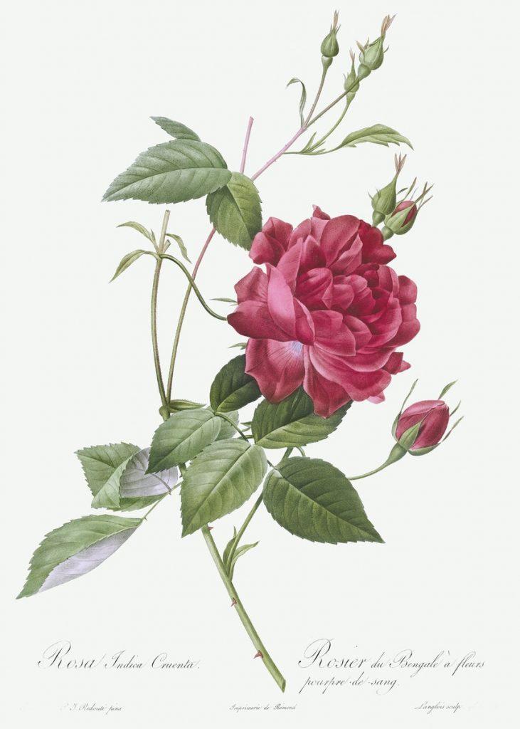 Immagini romantiche per San Valentino: rosa di Pierre-Joseph Redouté