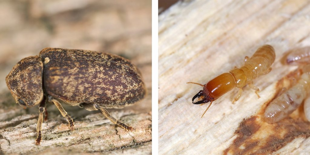 Che differenza c'è tra tarlo e termite